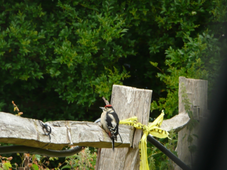 Woodpecker on a fence post