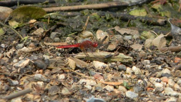 red dragonfly by the lake - @fabulous-soutdoors