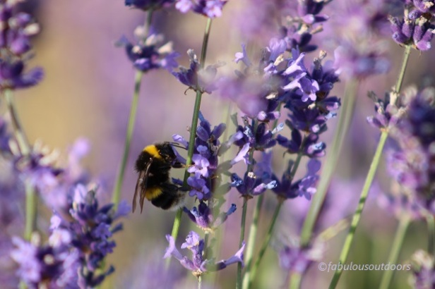 Bee_Mayfield_Lavender_IMG_0878