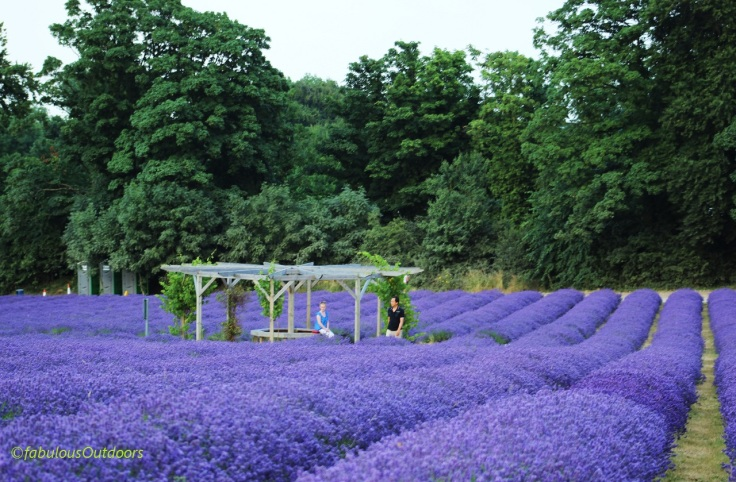 Mayfield_Lavender_Farm_Surrey_IMG_0852
