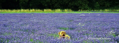 Mayfield_Lavender_Surrey_UK_fabulous_outdoors_IMG_0849
