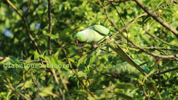 The beautiful Red-Necked Parakeets
