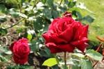 Roses_in_park_hill_Croydon_Surrey_©fabulousOutdoors_IMG_0468