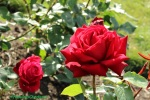 Roses_in_park_hill_Croydon_Surrey_©fabulousOutdoors_IMG_0468