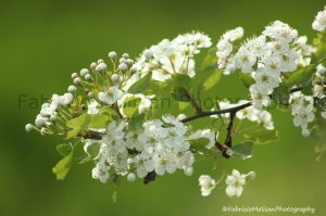 IMG_4215_1280_WM_Spring_Blossom_Flowers_©FabrizioMalisanPhotography