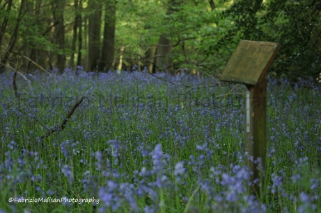 A Sea of Bluebells by a National Trust post in Kent UK @FabrizioMalisan Photography