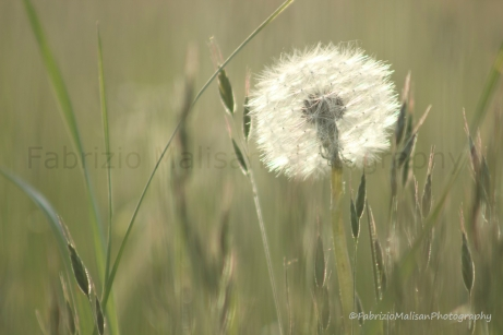 Just Like Cotton Wool - Dandelion @FabrizioMalisan Photography