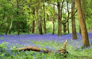 IMG_4379_851_Bluebells_Forest_Dorking_Surrey_©FabrizioMalisanPhotography