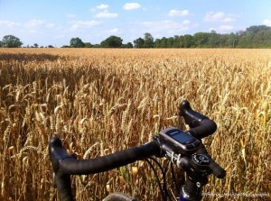 Cycling amongst a wheat field on the Surrey Hills