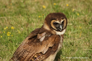 Owl__Brown_Owls_British_Wildlife_Surrey_UK-Photography_@FabrizioMalisan_Fabulous_Outdoors_FB_IMG_9240
