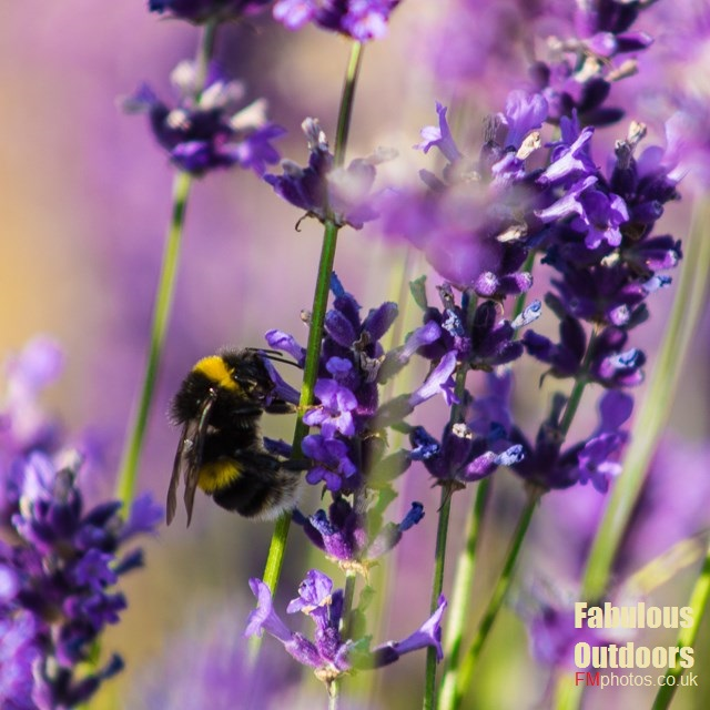 Bee enjoying the pollin from Lavender flowers