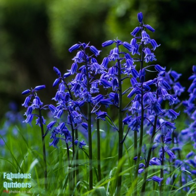 Beautiful Bluebells in the woods