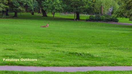 The stag red deer in the park @ Park Hill in Croydon Surrey