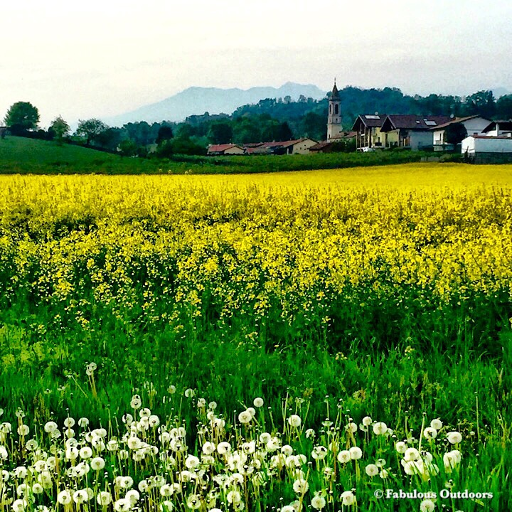 Rapeseed field surrounding. Roppolo in Piemonte