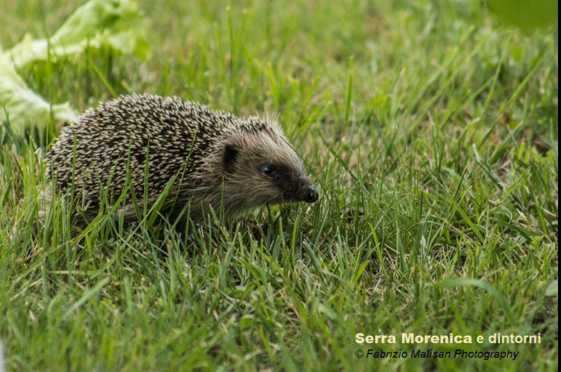 IL riccio Spino the hedgehog