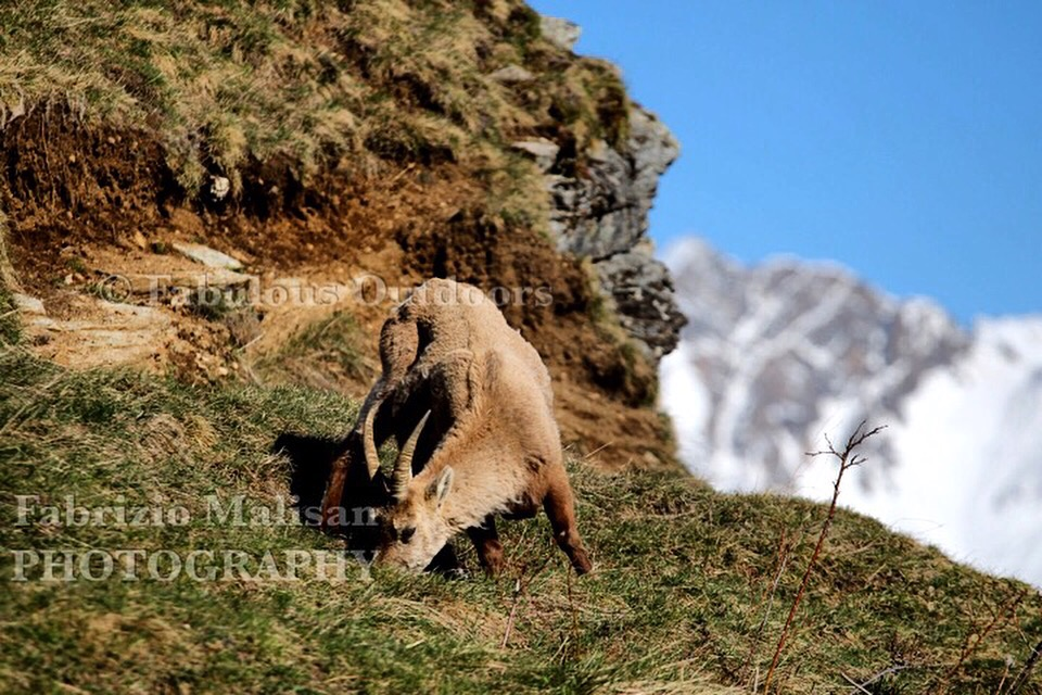 A close encounter with the Ibex