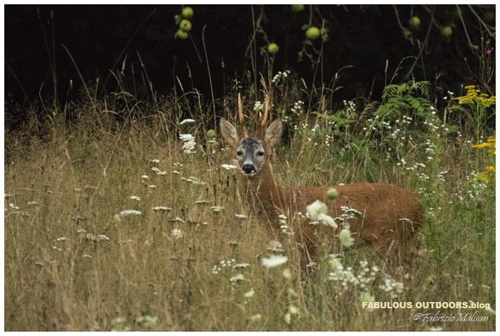 Deer in the field - Fabulous Outdoors