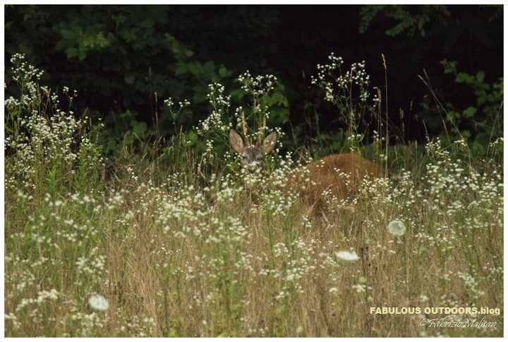 Deer in the field - Fabulous Outdoors